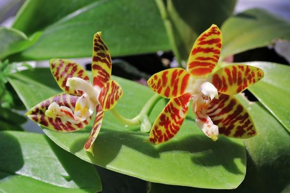 Původní druh Phalaenopsis amboinensis je poměrně drobný epifyt ztropických deštných lesů indonéských ostrovů.