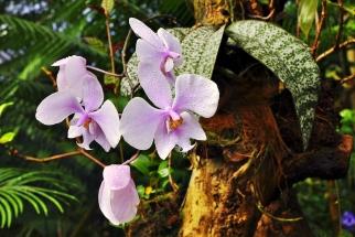 Původní druh Phalaenopsis schilleriana má úžasné kouzlo avyrovná se krásou isložitě šlechtěným hybridům.
