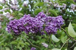 Syringa vulgaris ´Andanken an Ludwig Spath´. Jde okultivar sjednoduchými purpurovými květy, jednotlivé kvítky jsou složeny dodlouhých lat. Nasvá květenství dokáže spolehlivě nalákat mnoho hmyzích opylovačů včetně motýlů.