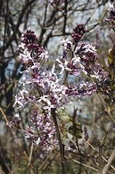 Syringa oblata. Šeřík širokolistý rozkvétá o jeden až dva týdny dříve než šeřík obecný. Roste bujně, je odolný a zdravý, květy jsou světlejší a drobné.