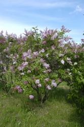 Syringa x prestoniae ´Isabella´. První rostliny vyšlechtila Isabella Preston zOttawy vedvacátých letech minulého století aponí následovali další šlechtitelé.