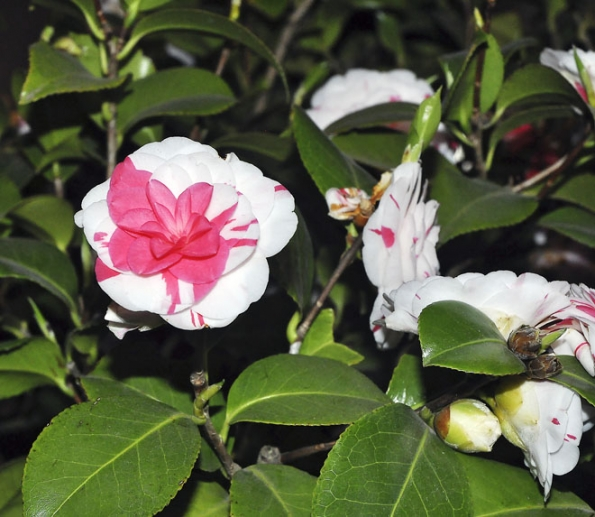 Nápadně dvoubarevná Camellia japonica ´Contessa Lavinia Maggi´