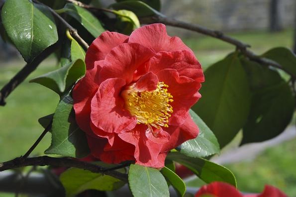 Camellia japonica ´Grand Prix´ je obzvlášť velkokvětá odrůda, květ dosahuje téměř dvojnásobné velikosti než u plané původní formy.