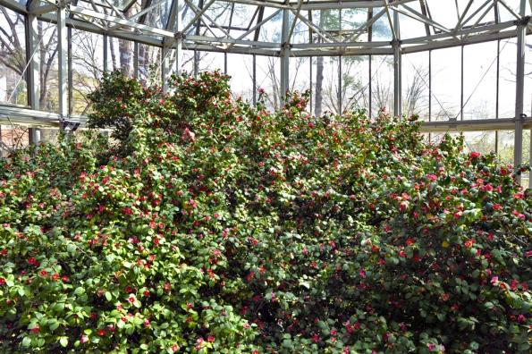Kvetoucí nejstarší rostlina Camellia japonica vzámku Pillnitz