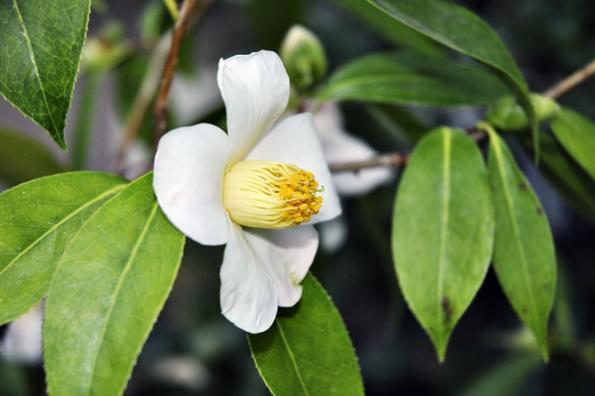 Camellia saluenensis je keřík zvysokých hor jižní Číny, kde roste až do3200 metrů nad mořem. Vesvé domovině patří kohroženým druhům.
