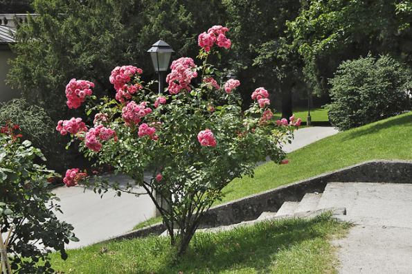 Letní řez růží má především povzbudit tvorbu nových květů. U velkokvětých odrůd odstřihávejte květ i s částí stonku nad nejbližším zcela vyvinutým pětičetným listem, u odrůd s velmi těžkými květy i níže, aby nový výhon byl silnější.