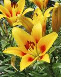 """K nejnápadnějším letním květinám patří lilie, které zkrášlí každou zahradu a zároveň poslouží jako skvělá květina k řezu. Všechny druhy i odrůdy mají rády slunné, ale vlhčí stanoviště s lehkou propustnou půdou dobře zásobenou živinami. Platí lidový postřeh, že lilie potřebují mít """"hlavu na slunci a nohy ve stínu"""". Ale dejte pozor na veliké oranžové prašníky, ze kterých se uvolňuje množství pylu – pokud se vám vysype na ubrus nebo na šaty, zanechá prakticky nevypratelné žluté skvrny."""