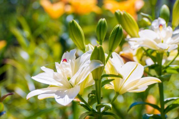 Jak zalévat v letním vedru, správně řezat růže, využít okrasné trávy ke zkrášlení záhonů letniček a jak zařídit, aby lilie krásně rozkvetly - to jsou témata červencového kalendária.