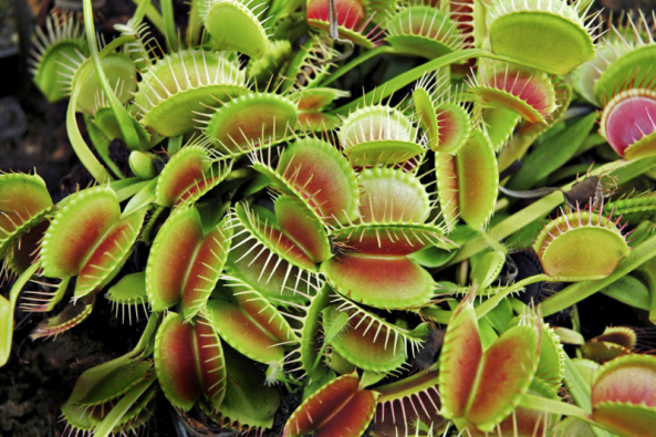 Pohyblivé listy mucholapky podivné (Dionaea muscipula) patří knejzajímavějším jevům vrostlinné říši. Vpřírodě roste vmokřadech jihovýchodu USA, patří mezi rostliny přísně chráněné.