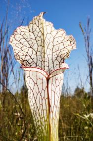 Sarracenia leucophylla má nádherně bílo-zelené pasti, které vyzrávají později než ostatní, ale také zůstávají déle pěkné. Květy má tmavě červené.