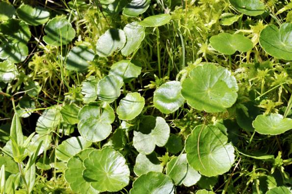 Zajímavé štítovité listy má pupečník, je to rostlina naší přírody, která pěkně zaroste břehy.