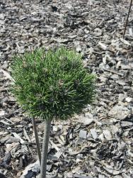 Borovice kleč (Pinus mugo 'Picobello'). Čarověník na podnoži, výška 40 cm. Dobře vynikne kulovitý tvar.