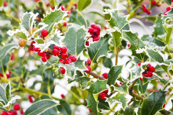 Typickými vánočními plody jsou červené kuličky cesmíny (Ilex), pro vánoční aranžmá téměř nepostradatelné. Pěkné jsou ikultivary se žlutými plody nebo světle žíhanými listy. Cesmíny citlivě reagují namráz, potřebují chráněnou polohu vzahradě, nejlépe blízko zdi domu. Dodrsnějšího podhorského klimatu se nehodí, ale vteplejších nížinách bývají ozdobou zahrad vzimních měsících.