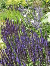Šalvěj je osvědčená trvalka dosucha. Poprvním květu ji zastříhněte apak vykvete ještě jednou.