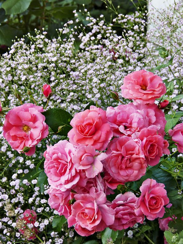 Jedna zvelmi pěkných kombinací jsou růže ašater. Zde nižší záhonová růže ´Bad Birnbach´. Tato odolná azdravá odrůda kvete velmi bohatě adlouho. Barva květů je lososově-růžová, kompaktní adrobnější keřík dorůstá do50cm.