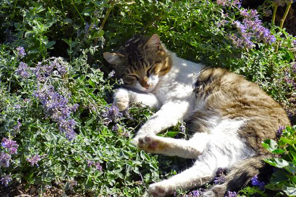Šanta kočičí (Nepeta x fassenii) má magickou sílu probouzet vdospělých kočkách příjemné pocity amožná ihalucinogenní stavy. Obsahuje totiž tzv. nepetaklotony, které mají podobné vlastnosti jako THC nebo LSD. Proto se vestředověku používala jako silná halucinogenní látka. Nedivte se tedy, až uvidíte své kočičí miláčky, jak se slastně válejí všantě aokusují její listy. Vysázejte si tuto mimořádně nenáročnou bylinu avaše kočky vás budou milovat! Nebo spíše tu šantu...