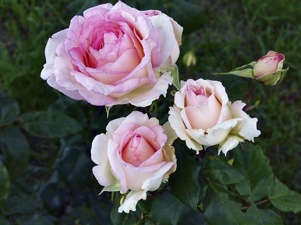 ´Souvenir de Baden-Baden´ krásně voní poovoci (liči, mirabelka, mandarinka), pačuli ačerném bezu. Květy mají šarmantní krémově růžovou barvu, jsou skvělé dovázy. Velmi zdravá rostlina dosahuje výšky až 100cm.