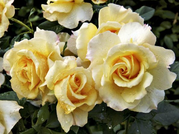 ´Sunny Sky´ dosahuje výšky až 120cm. Vroce 2016 byla vyhlášena za Růži roku vAnglii, což je velmi prestižní ocenění. Aopravdu si to zaslouží. Velké medově žluté květy mají až 10cm vprůměru ajemně voní. Velmi zdravá aspolehlivá rostlina ozdobí každý záhon.
