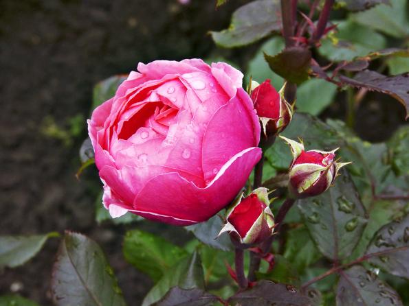´Gartenprinzessin Marie-José´ je letošní novinka ze skupiny Parfuma. Pomponkovitá forma květů zůstává až doodkvětu. Intenzivní ovocná vůně růžově červených květů se doplňuje svýborným celkovým zdravím. Rostlina dorůstá do80cm.