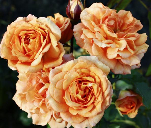 ´Pálava´ (též ´Bentheimer Gold´), drobnější akompaktně rostoucí růže, byla slavnostně pokřtěna vpenzionu André veVelkých Pavlovicích vroce 2016. Její barva se snoubí skrajem slunce, meruněk avína jižní Moravy. Bohatě kvetoucí hustý keřík se dobře hodí inavelkoplošné výsadby.