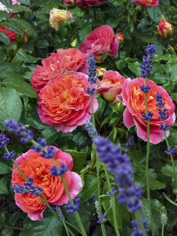 ´Gebrüder Grimm´ je stálicí vsortimentu. Skvělé zdraví aodolnost rostliny je dovršena velkými květy vesvítivě žluté aoranžové. Tato růže má široké uplatnění jak jednotlivě, tak vesmíšených výsadbách.