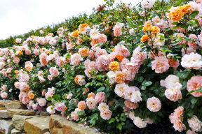 ´Schöne vom See´, vitální abohatě kvetoucí růže dosahuje 80cm. Velmi zdravá rostlina má květy vrůžových až meruňkově oranžových tónech.