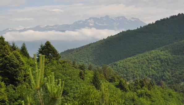Nordmannovy jedlové lesy na Kavkaze (Zdroj: Hornbach)