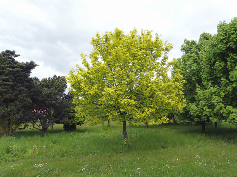 Javor babyka ´Postelense´ se zlatavým zbarvením listu a malým vzrůstem okolo 3 m