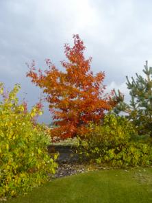 Některé stromy potěší pestrým zbarvením listů. Dub červený získá měděný nádech