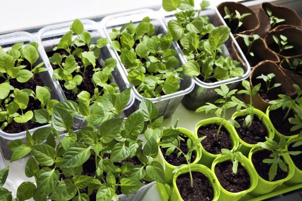 Skleník je také ideálním místem k množení nebo předpěstování sazenic teplomilných rostlin, které posléze vysadíte ven do zahrady