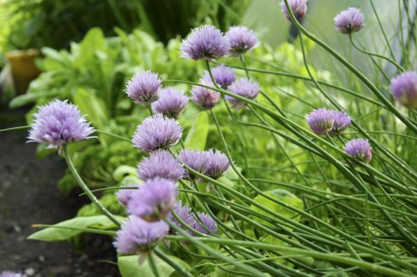 Už dávno neplatí, že je nutné užitkovou zahradu skrývat před zraky a neprodyšně ji oddělovat od okrasné části kompozice. O podívanou se postarají nejen barevné odrůdy zeleniny, krásné na pohled jsou i různé druhy bylinek