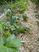 Mulčovací materiály sníží riziko zaplevelení a navíc omezí i výpar vody z půdy, proto mulčujte všude, kde to jen trochu jde. Na zeleninovou zahradu se hodí především sláma nebo jemně posečená tráva
