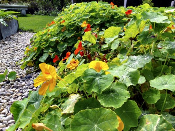 Krátkodobou náhradu trávníku mohou zastat také letničky, ideální je pak lichořeřišnice větší