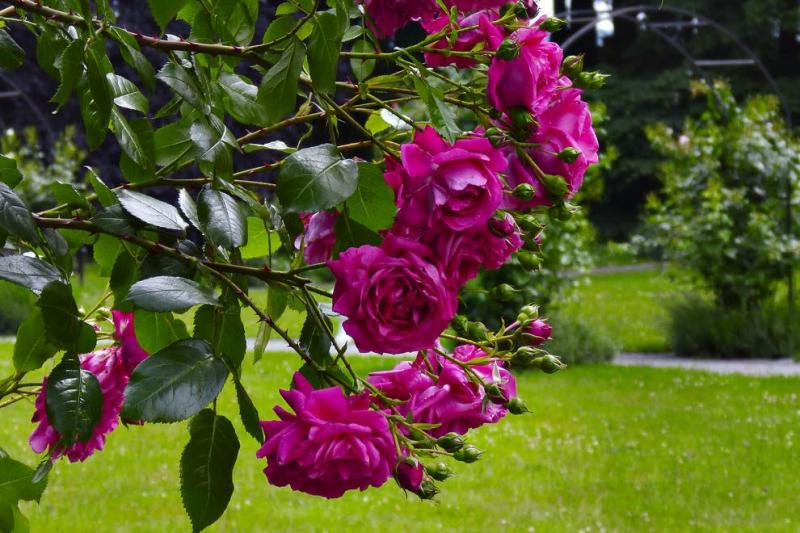 Růže až do oblak