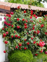 Florentina je vynikající naprosto odolná pnoucí růže v klasické červené barvě. Díky svým vlastnostem se hodí i pro pěstování v kontejneru