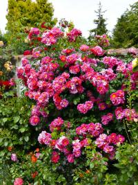 Otevřené květy pnoucí růže Bajazzo lákají spoustu užitečného hmyzu na svůj nektar. Svítivá barva se postará o pohledový akcent