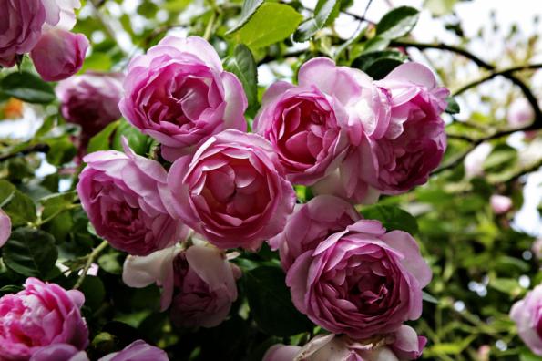 Pnoucí růže Jasmina umístěte v blízkosti zahradního posezení, abyste vychutnali nejen krásu, ale i vůni jejích květů