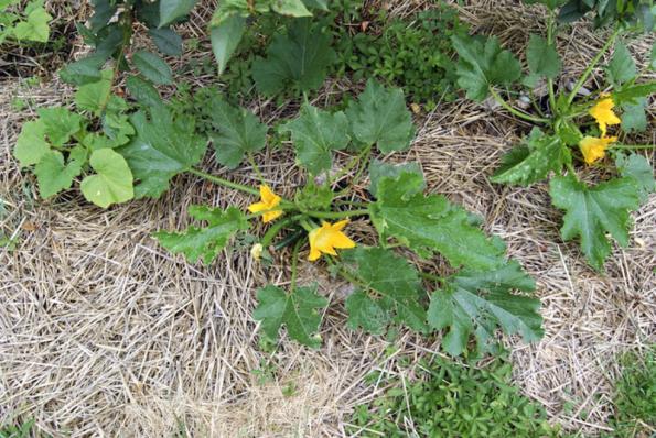 Posekanou trávu a drobné větvičky můžeme používat k mulčování, to jest k zakrývání půdy kolem rostlin