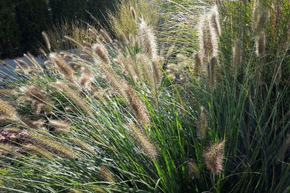 Hlavní sezona okrasných trav se počítá od května do podzimu, ale o slovo se hlásí také v zimě, kdy na jejich listech mráz vykouzlí působivou podívanou