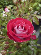 Záhonová mnohokvětá růže Marie Rottrová